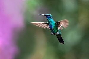 Sparkling Violet-ear (Colibri coruscans) hummingbird in flight, Mindo cloud forest ecosystem, Ecuador, July - David  Pattyn