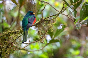 Masked trogon (Trogon personatus) male perched, Bellavista private reserve, Mindo, Pichincha, Ecuador, July - David  Pattyn