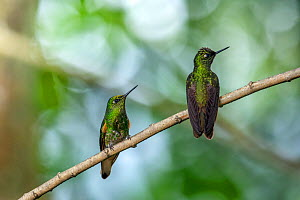 Buff-tailed Coronet (Boissonneaua flavescens), Bellavista private reserve, Mindo, Pichincha, Ecuador , July - David  Pattyn