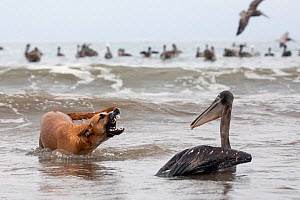 Brown Pelican (Pelecanus occidentalis) beiing attacked by a stray dog on the beach, Puerto Lopez , Santa Elena Peninsula, Manabi Province, Ecuador, July - David  Pattyn