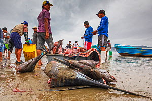 Fishermen butchering sailfish, sharks and swordfish at the fishmarket on the beach, Puerto Lopez , Santa Elena Peninsula, Manabi Province, Ecuador, July  -  David  Pattyn
