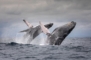 Humpback whale (Megaptera novaeangliae) two breaching at the same time together, Puerto Lopez , Santa Elena Peninsula, Manabi Province, Ecuador, July, Puerto Lopez , Santa Elena Peninsula, Manabi Prov... - David  Pattyn