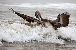 Brown Pelican (Pelecanus occidentalis) trying to get a big fish out of the water to eat, Puerto Lopez , Santa Elena Peninsula, Manabi Province, Ecuador, July - David  Pattyn