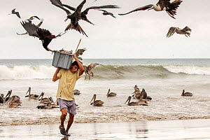 Magnificent Frigatebirds (Fregata magnificens) trying to steal fish from a fisherman coming on land with a fresh catch, Puerto Lopez , Santa Elena Peninsula, Manabi Province, Ecuador, July - David  Pattyn