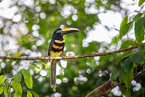 Many-banded aracari (Pteroglossus pluricinctus) Cuyabeno wildlife reserve, Sucumbios, Amazon rainforest, Ecuador. July  -  David  Pattyn