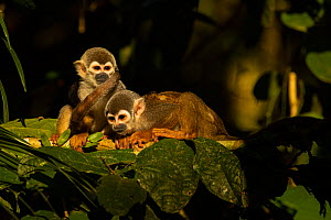 Common squirrel monkey (Saimiri sciureus) two resting in the late afternoon sunlight, Cuyabeno wildlife reserve, Sucumbios, Ecuador, July  -  David  Pattyn