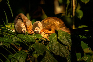 Common squirrel monkey (Saimiri sciureus) two sleeping in the late afternoon sunlight, Cuyabeno wildlife reserve, Sucumbios, Ecuador, July  -  David  Pattyn