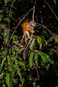 Common squirrel monkey (Saimiri sciureus), Cuyabeno wildlife reserve, Sucumbios, Ecuador, July  -  David  Pattyn