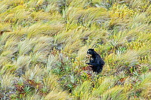 Spectacled / Andean Bear (Tremarctos ornatus) foraging for bromeliads in its high altitude paramo habitat, Cayambe Coca National Park, Papallacta, High Andes, Ecuador, July - David  Pattyn