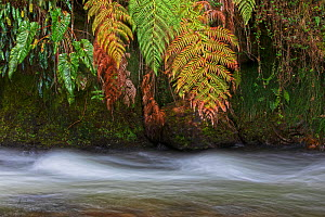 Papallacta river flowing through cloud forest landscape with fern covered trees, Papallacta, Tropical Andes, Ecuador, July  -  David  Pattyn