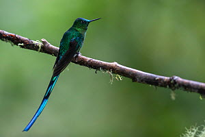 Long-tailed sylph hummingbird (Aglaiocercus kingii) Mindo, Pichincha, Ecuador , July - David  Pattyn