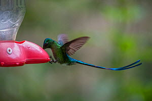 Long-tailed sylph hummingbird (Aglaiocercus kingii) feeding from bird feeder, Mindo, Pichincha, Ecuador , July - David  Pattyn