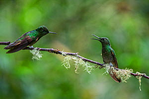 Buff-tailed coronet hummingbird (Boissonneaua flavescens) two fighting, Mindo cloud forest area, Pichincha, Ecuador , July - David  Pattyn