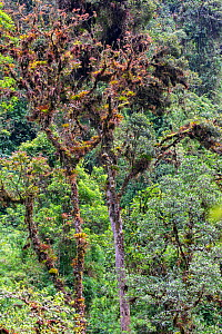 Old trees covered with ferns, orchids and bromeliads in typical high altitude rainforest, Bellavista private reserve, Mindo cloud forest area, Ecuador, July  -  David  Pattyn