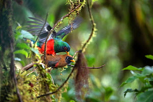 Masked trogon (Trogon personatus) couple mating in cloud forest environment, Bellavista private reserve, Mindo, Pichincha, Ecuador, July - David  Pattyn