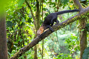Tayra (Eira barbara) climbing in a tree in rainforest habitat with fern covered trees, Bellavista private reserve, Mindo cloud forest area, Ecuador, July  -  David  Pattyn