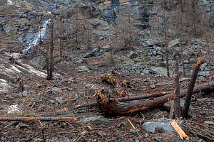 Remains from avalanches after the snow has melted with broken trees and masses of rocky debris remaining, Valsavarenche, Gran Paradiso National Park, Aosta Valley, Italy  -  David  Pattyn
