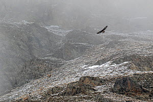 Golden eagle (Aquila chrysaetos)in its landscape in flight over snow covered mountain side, Gran Paradiso National Park, Aosta Valley, Italy, May - David  Pattyn