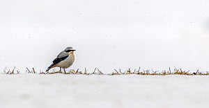 Northern wheatear (Oenanthe oenanthe) arriving in the valley with most of the grass still covered in snow, Valsavarenche, Gran Paradiso National Park, Aosta Valley, Italy - David  Pattyn
