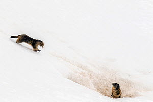 Alpine marmot (Marmota marmota) carrying grass and other nesting material across snow to its nest while another one is on the lookout, Gran Paradiso National Park, Aosta Valley, Italy, April - David  Pattyn