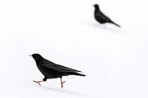 Alpine chough (Pyrrhocorax graculus) in snow, Gran Paradiso National Park, Aosta Valley, Italy, April  -  David  Pattyn