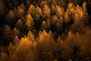European larch (Larix decidua) in the last rays of sun on a mountain side. Landscape, Valsavarenche valley, Gran Paradiso national Park, Aosta Valley, Alps, Italy, December - David  Pattyn