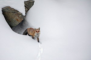 Red fox (Vulpes vulpes) in deep snow emerging from den, Valsavarenche valley, Gran Paradiso national Park, Aosta Valley, Alps, Italy, December - David  Pattyn