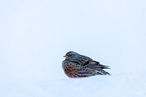 Alpine accentor (Prunella collaris) in snow, Leukerbad, Vallais, Wallis, Switzerland, January  -  David  Pattyn