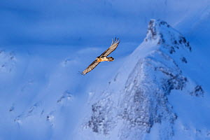 Lammergeier (Gypaetus barbatus) in flight over winter landscape with snow, Leukerbad, Vallais, Wallis, Switzerland, January - David  Pattyn