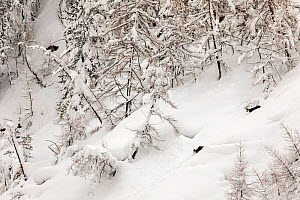 Chamois (Rupicapra rupicapra) adult and young running down in deep snow on a mountain slope in its typical winter landscape after heavy snowfall, Valsavarenche, Gran Paradiso National Park, Aosta Vall... - David  Pattyn