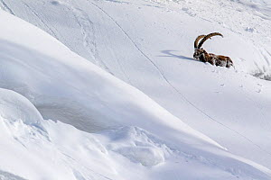 Alpine ibex (Capra ibex) struggling in deep snow on a steep slope, Valsavarenche, Gran Paradiso National Park, Aosta Valley, Italy, January - David  Pattyn