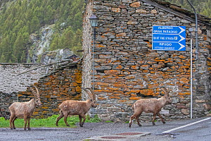 Alpine ibex (Capra ibex) adult males in the hamlet of Pont in front of houses, Valsavarenche, Gran Paradiso National Park, Aosta Valley, Italy, may  -  David  Pattyn