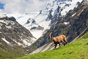 Alpine Ibex (Capra ibex) in its landscape, Valsavarenche, Gran Paradiso national park, Aosta Valley, Italy, May  -  David  Pattyn