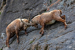 Alpine ibex (Capra ibex) adult males fighting on a steep mountain side, Valsavarenche, Gran Paradiso National Park, Aosta Valley, Italy, May - David  Pattyn