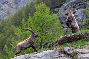 Alpine ibex (Capra ibex) adult males fighting in alpine landscape, Valsavarenche, Gran Paradiso National Park, Aosta Valley, Italy, May - David  Pattyn