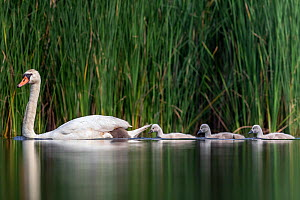 Mute swan (cygnus olor) family, Valkenhorst Nature Reserve, Valkenswaard, The Netherlands, June - David  Pattyn