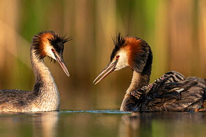 Great crested grebe (Podiceps cristatus) adults courting and greeting each other to confirm their bond. Even with the young chicks already out they often show courtship behavior to each other, Valkenh... - David  Pattyn