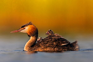 Great crested grebe (Podiceps cristatus) adult with young on its back, Valkenhorst Nature Reserve, Valkenswaard, The Netherlands, June - David  Pattyn