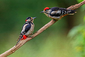 Great Spotted Woodpecker (Dendrocopos major) adult male feeding young, Oisterwijk, The Netherlands, June - David  Pattyn