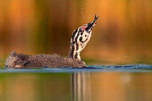 Great crested grebe (Podiceps cristatus) young chick swallowing a fish, Valkenhorst Nature Reserve, Valkenswaard, The Netherlands, July  -  David  Pattyn
