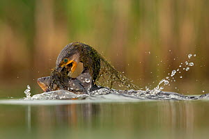 Great Cormorant (Phalocrocorax carbo) catching a Tench (Tinca tinca), Valkenhorst Nature Reserve, Valkenswaard, The Netherlands, July - David  Pattyn