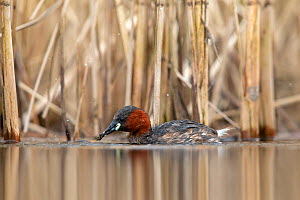 Little grebe (Tachybaptus ruficollis) foraging at the edge of a reedbed, Valkenhorst Nature Reserve, Valkenswaard, The Netherlands, April  -  David  Pattyn