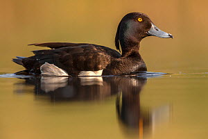 Tufted duck (Aythya fuligula) male drake , Valkenhorst Nature reserve, Valkenswaard, The Netherlands, May  -  David  Pattyn