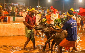 Kambala buffalo racing - team preparing for buffalo race on the slushy race track, Karnataka, India, January 2019. - Yashpal Rathore