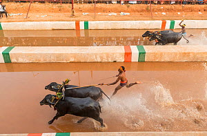 Kambala buffalo races - aerial view of the racer and buffaloes in the 'Negilu race', in which buffaloes are tied to a lightweight plough apparatus, Kambala buffalo races, Karnataka, India. Feb...  -  Yashpal Rathore