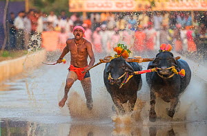 Kambala buffalo racing 'Negilu' race, in which buffaloes are tied to a lightweight plough apparatus, Kambala buffalo races, Karnataka, India. February 2019. - Yashpal Rathore