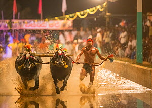Kambala buffalo racing - 'Hagga' buffalo race in which the racer holds onto rope, running with buffalo. Karnataka, India, January 2019. - Yashpal Rathore