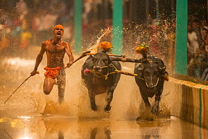 Kambala buffalo racing - 'Negilu' race, in which buffaloes are tied to a lightweight plough apparatus, Karnataka, India. February 2019. - Yashpal Rathore