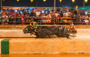 "Kambala buffalo racing. Man standing with both feet on large rectangluar wooden block driving buffalo in race called ""Adda Halage'. The aim of the race is to splash water as widely as possible, an...  -  Yashpal Rathore"