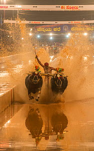 Kambala buffalo racing in Karnataka, India - Kane Halage race when man stands with one leg on round shaped wooden block tied to pair of buffalos with aim to splash water as high as possible to reach w...  -  Yashpal Rathore